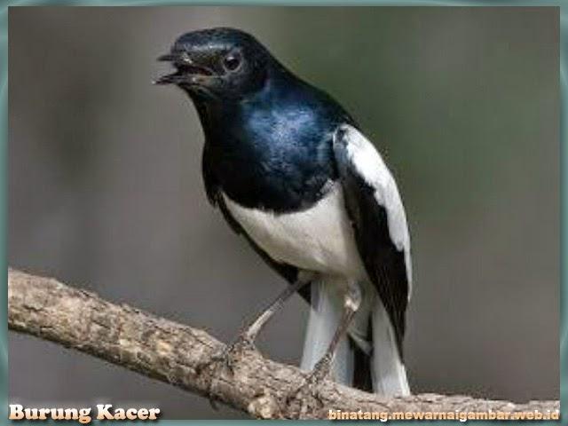 gambar binatang burung kacer