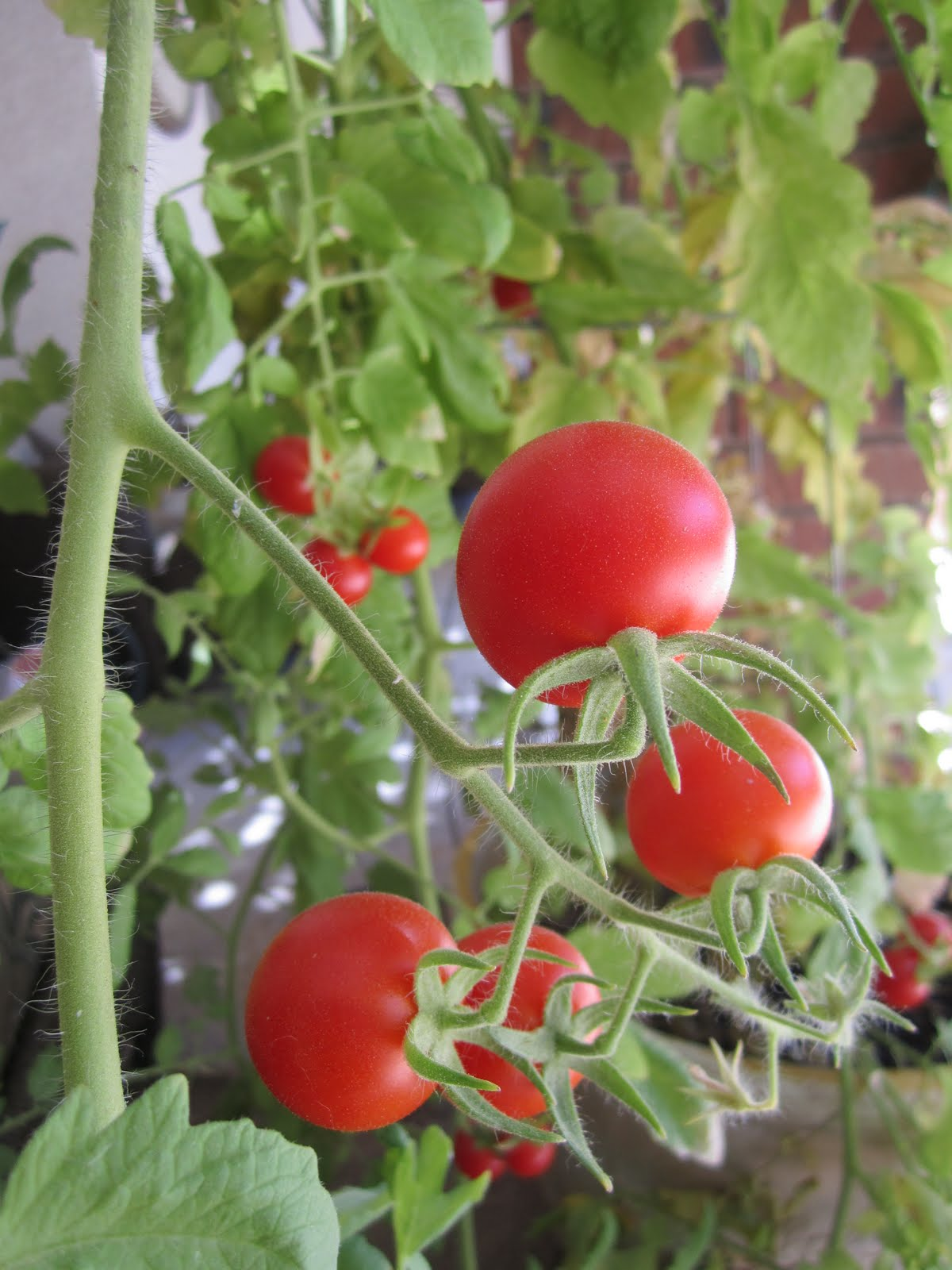 Wendys Hat How To Grow Tomatoes Garden Recipe