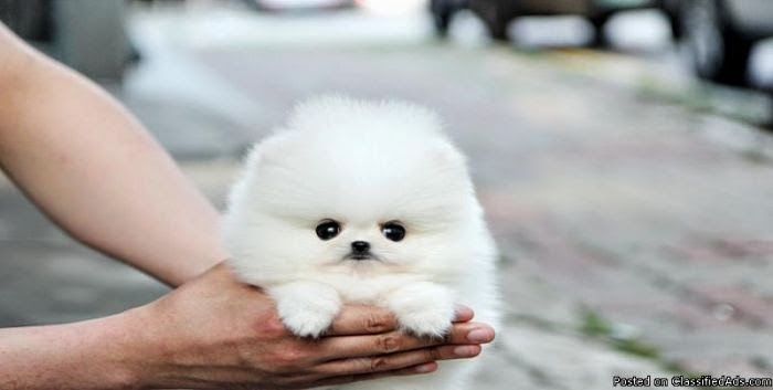 Thinking About...: Thinking About... Baby Teacup Pomeranians