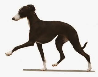 ITALIAN GREYHOUND AKC ALL BREED STATS