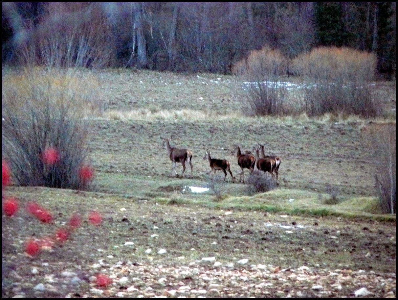 Ciervas en Cañada Honda (Tragacete)