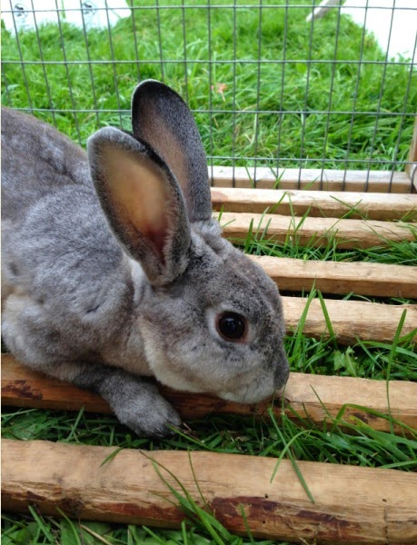 Hunny's boyfriend, a Mini Rex buck, in our mobile rabbit pen on pasture