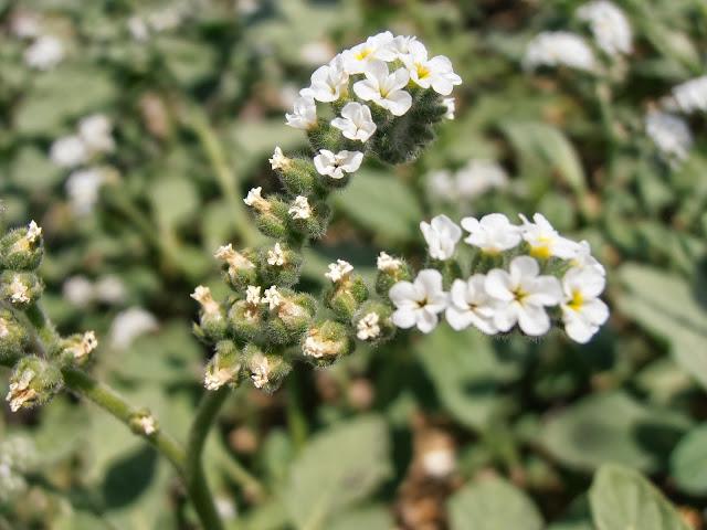 VERRUCARIA: Heliotropium europaeum