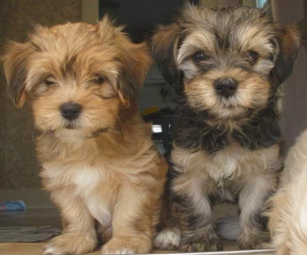 Such Good Dogs Breed Of The Month Havanese