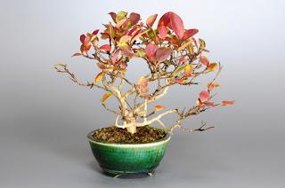サルスベリ-V1-2(さるすべり・百日紅)小品盆栽の販売と育て方・作り方