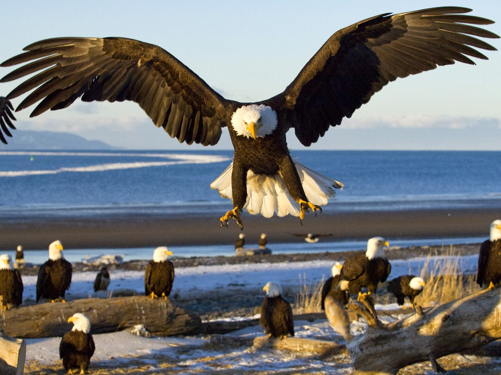 rules of the jungle the mighty bald eagle