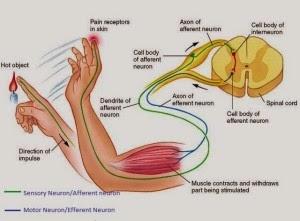 Perbedaan Neuron Sensorik dan Motorik