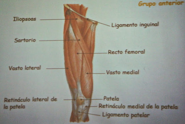 musculo de las extremidades inferiores - alba te quiero