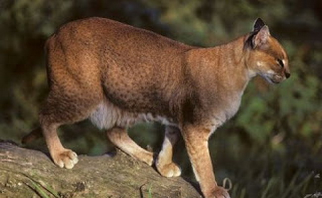 10 Jenis Kucing Liar langka di Dunia