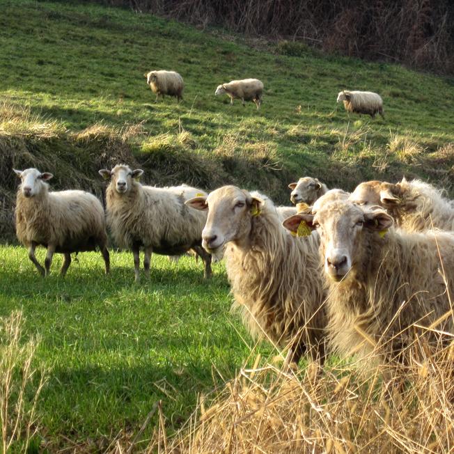 brebis du pays Basque - http://spicerabbits.blogspot.fr/