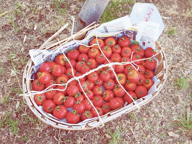 picniquette tomates