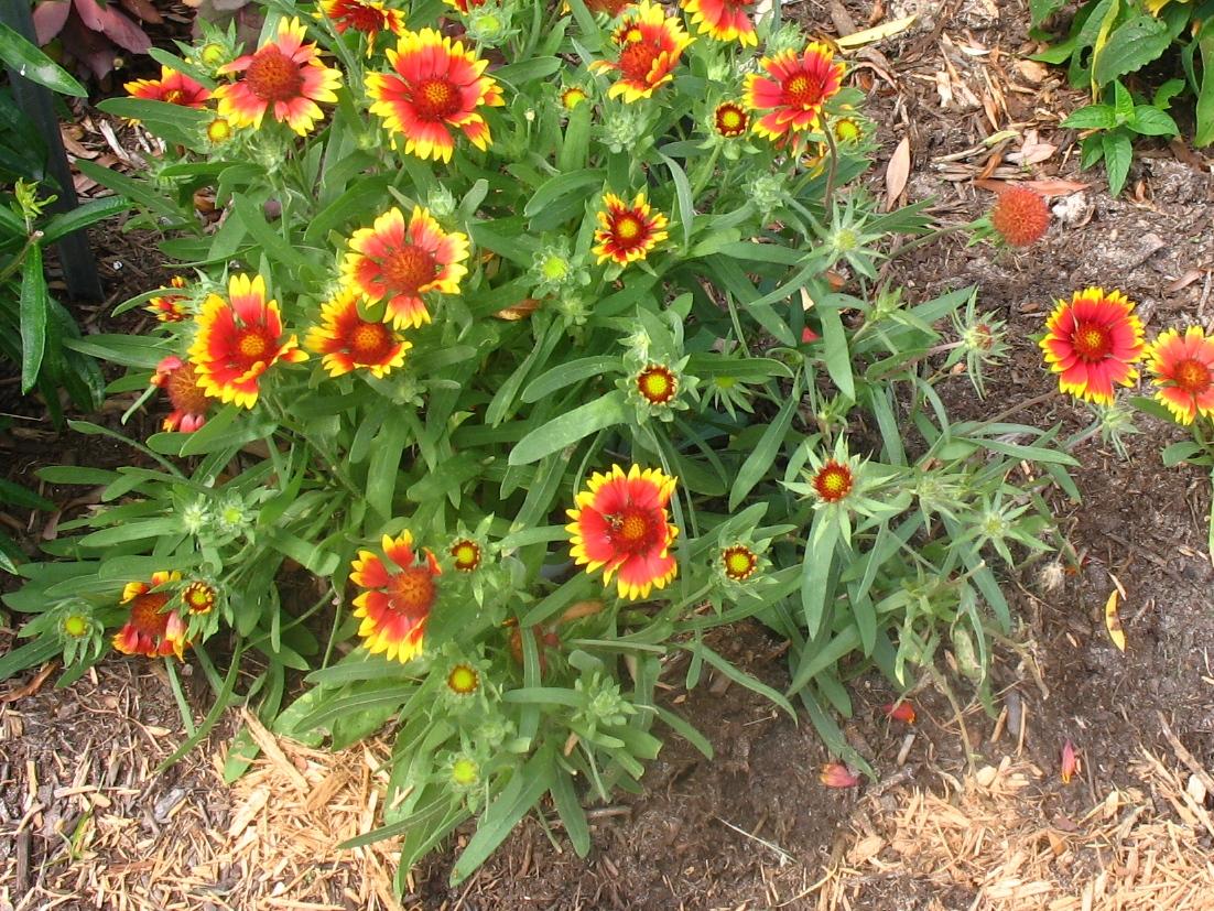 Views from the Garden Blanket flower
