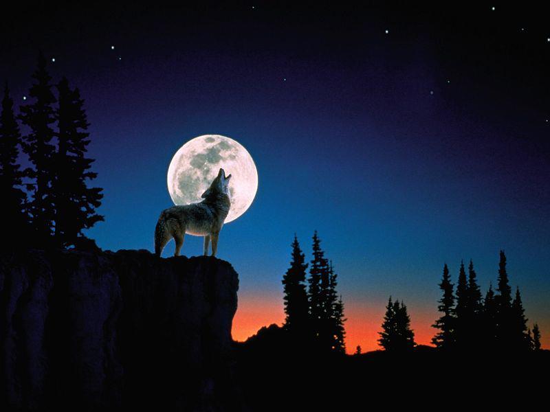 Lobo aullando a la luna dibujo  Imagui