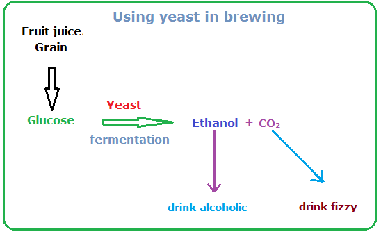 biology a2 yeast respiration coursework A2 biology unit 4 photosynthesis & respiration  aqa a2 biology revision notes trevor chilton  anaerobic respiration plants and yeast pyruvate is broken down to co.
