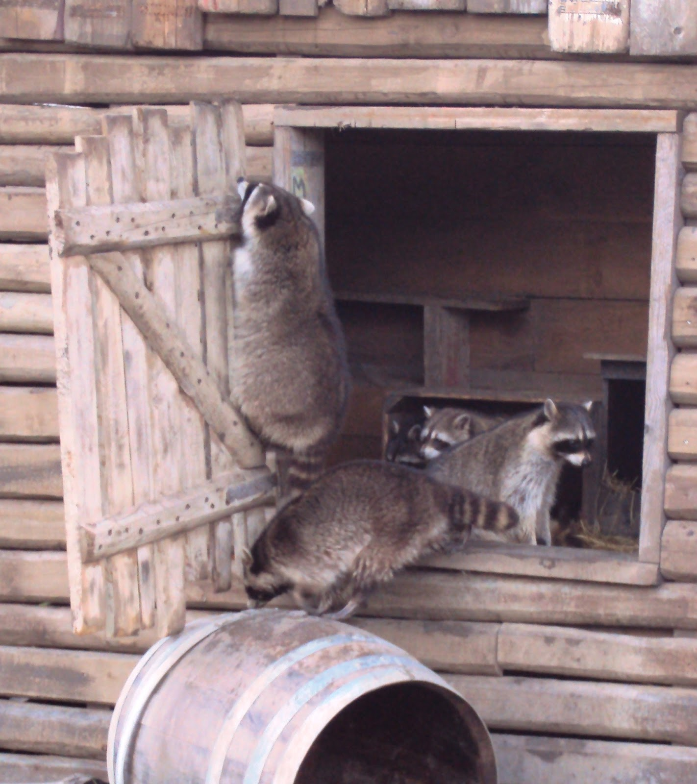 Angela Kuckartz Raccoons From Rotterdam Zoo Diergaarde Blijdorp