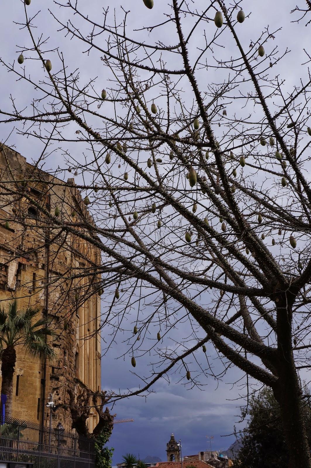 Same Ceiba speciosa or Ceiba pentandra tree with dried fruits in early spring
