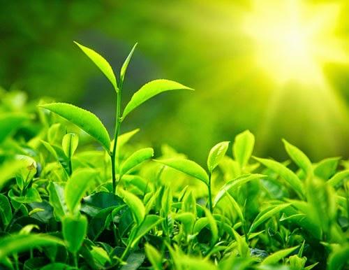Cách trị nám da mặt tại nhà với lá trà xanh