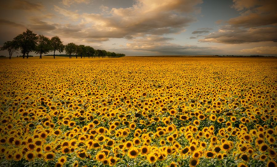 4. sunflowers by Piotr Krol