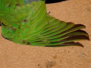 corte de alas en el loro