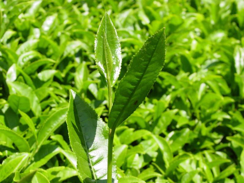 Çay bitkisi en fazla asya bölgesinde yetişmektedir