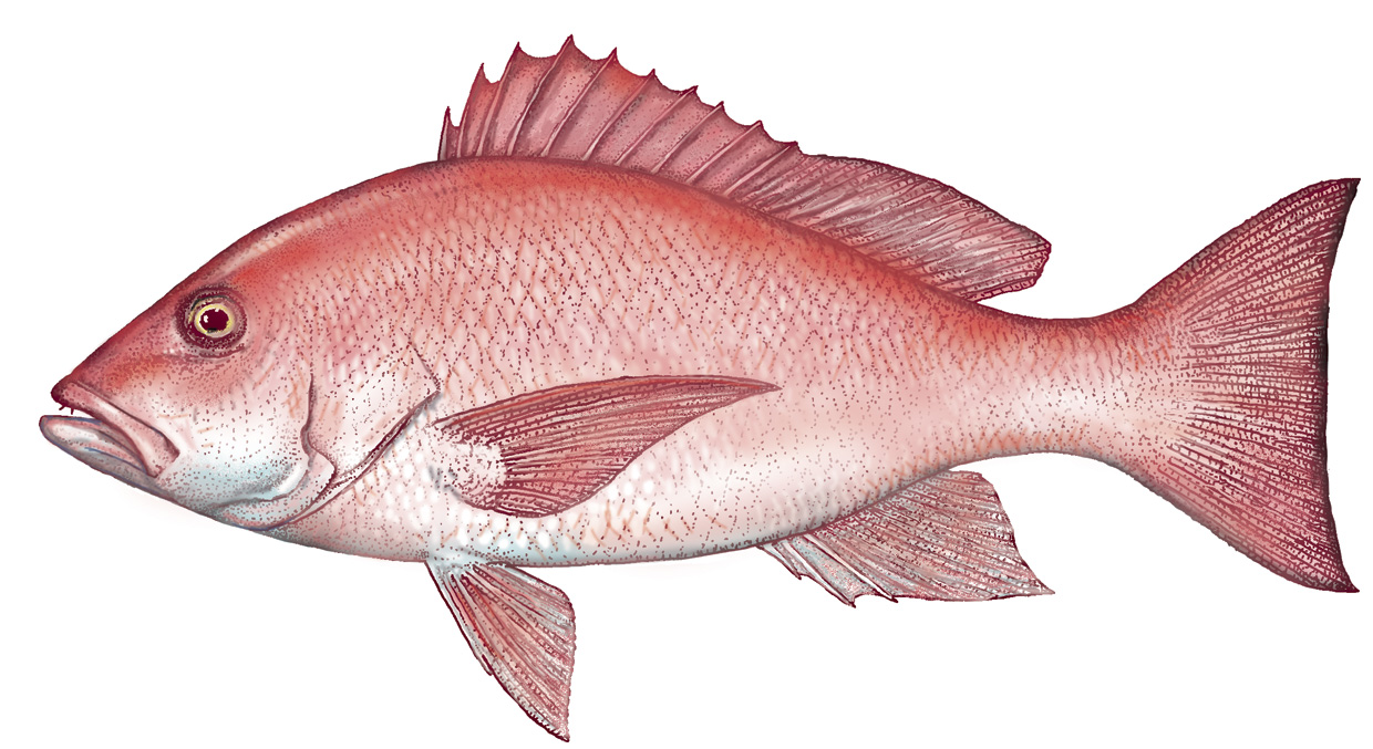 Pin red snapper on pinterest for Red snapper fish
