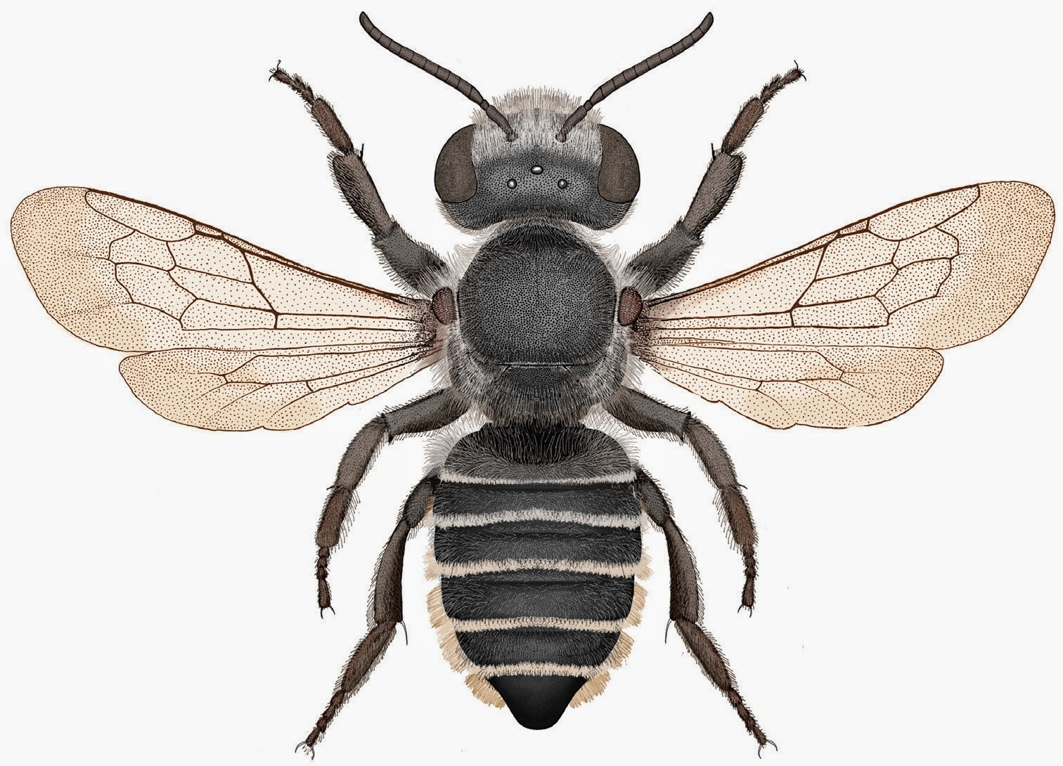 Megachile Pankus Is Differentiated From All Closely Related Species By The Arrangement Of Teeth On Its Mouthparts It A 10 Mm Black Leafcutter Bee With