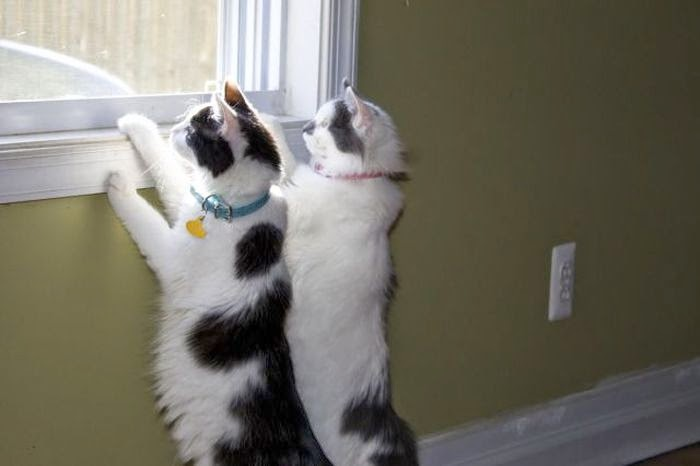 Funny cats - part 97 (40 pics + 10 gifs), cat pictures, two cats looking out from window