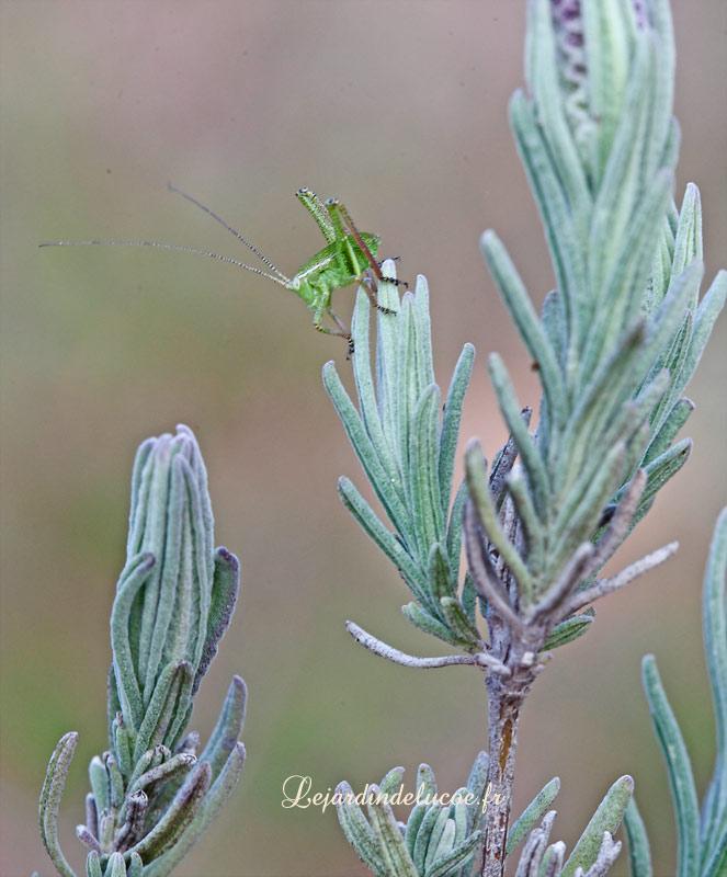 De jeunes sauterelles sur toutes les plantes de la garrigue for Toutes les plantes