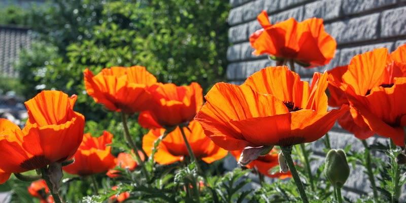 orange valmuer