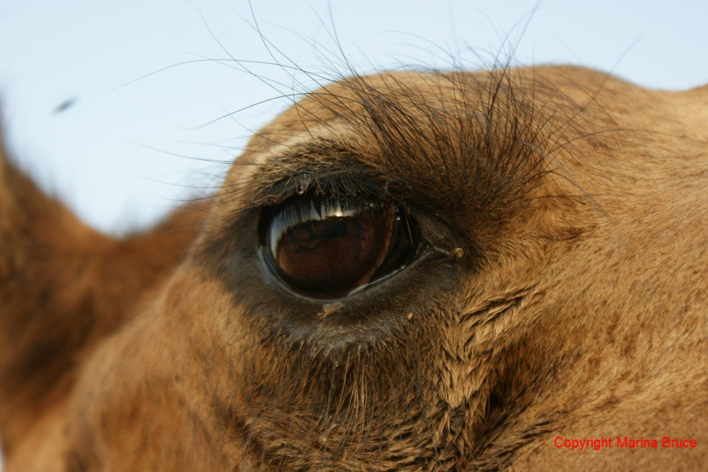Close Encounters of the Camel Kind | Living Life to the ...