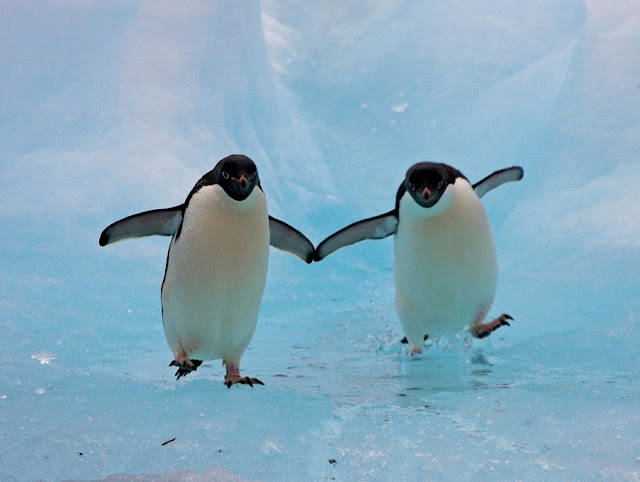 penguins pictures