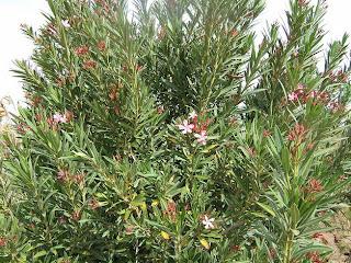 Bunga Oleander