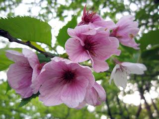 最後の桜の花