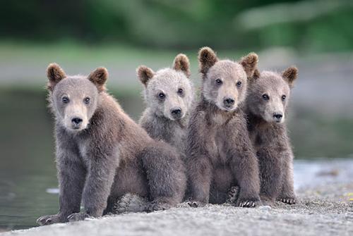 Ursos pousando para a foto