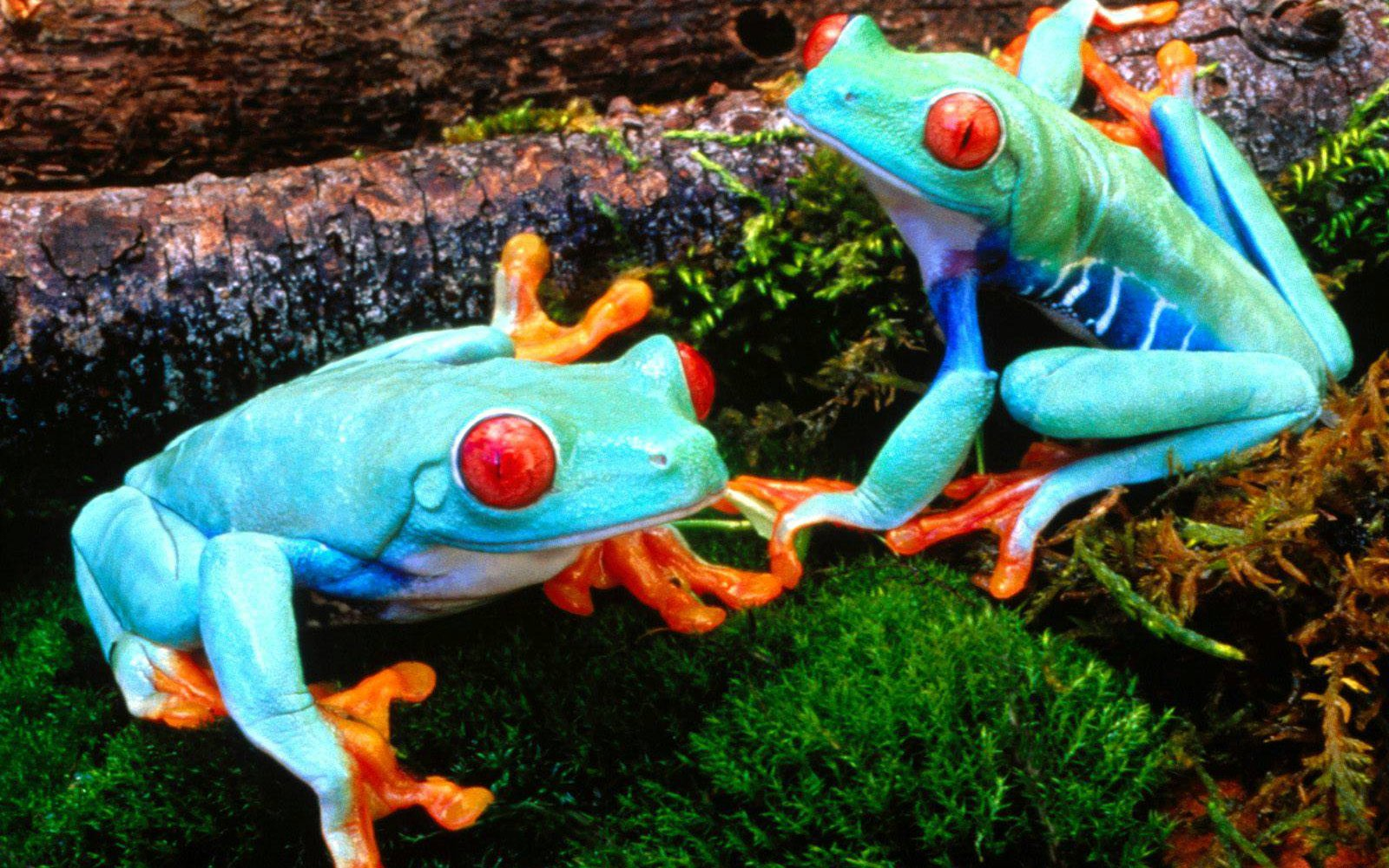 Frog Photos Most Beautiful Colorful Frogs Pictures