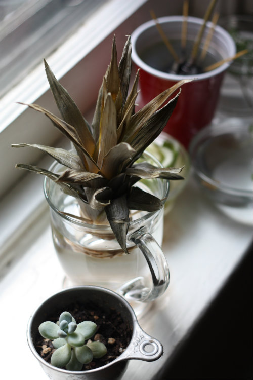 how to grow a pineapple plant from a pineapple top
