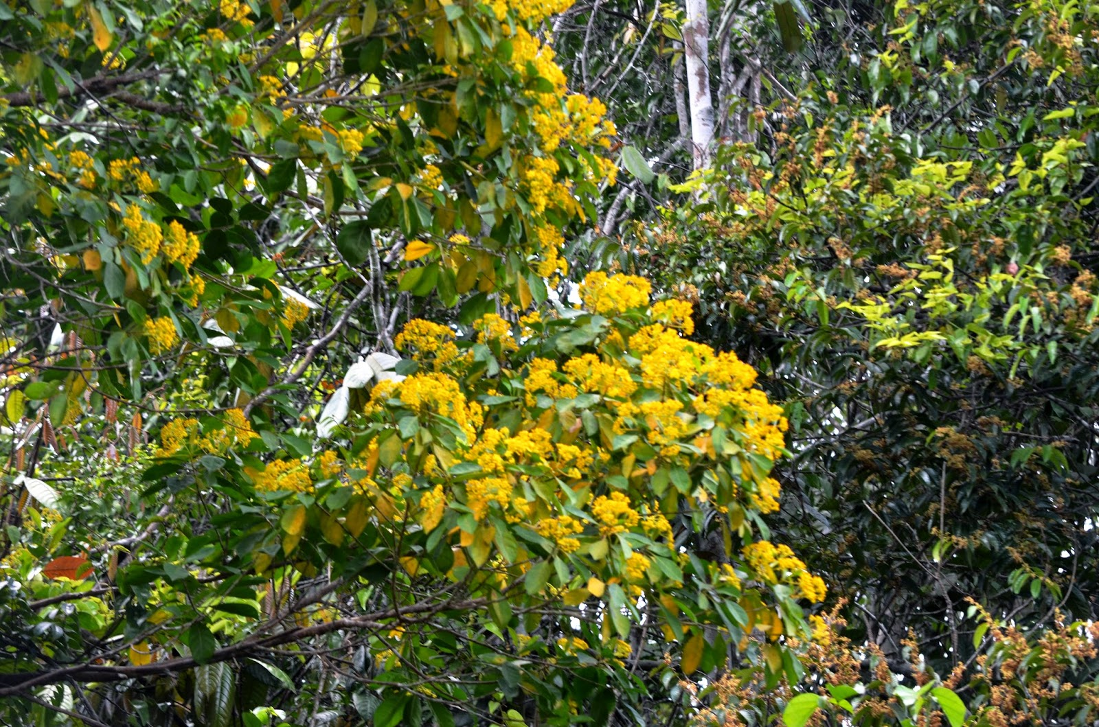 The Kambatik Park Bintulu Jungle Tree Flowers
