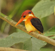 Black-backed Kingfisher_2011