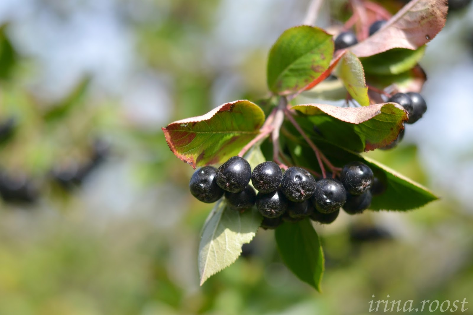 Выращивание черноплодной рябины фото