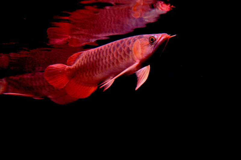 Arowana Care - How to Enhancing the Color of Your Red Arowana