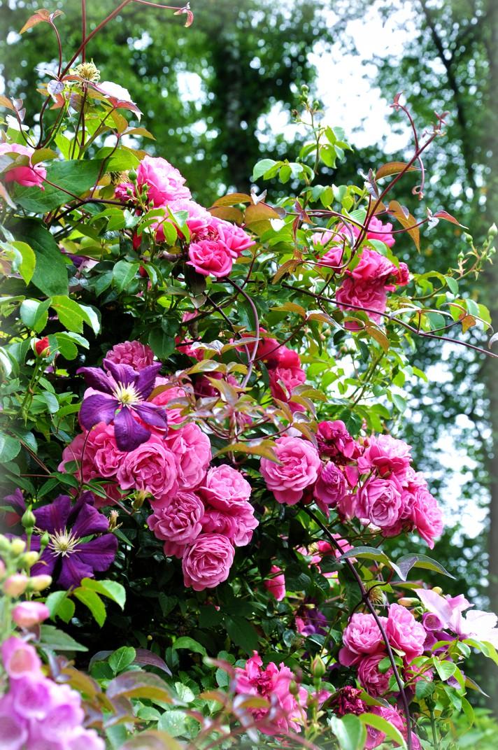 lauras home and garden der zauber der rosen. Black Bedroom Furniture Sets. Home Design Ideas