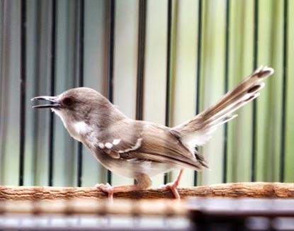 http://ilmukicau.blogspot.com/p/burung-pleci-kacamata-pl.html