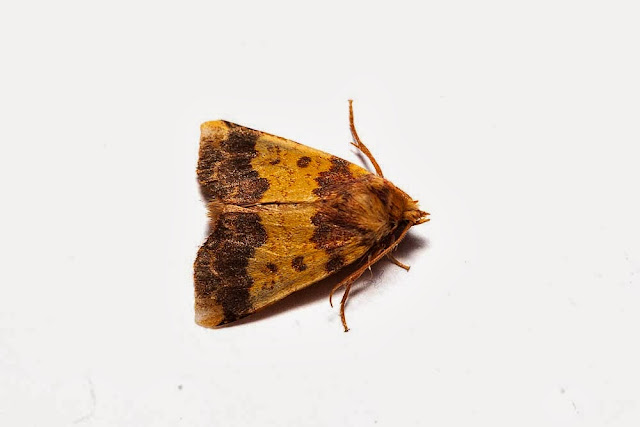 Barred Sallow - Photographed in Milton Keynes