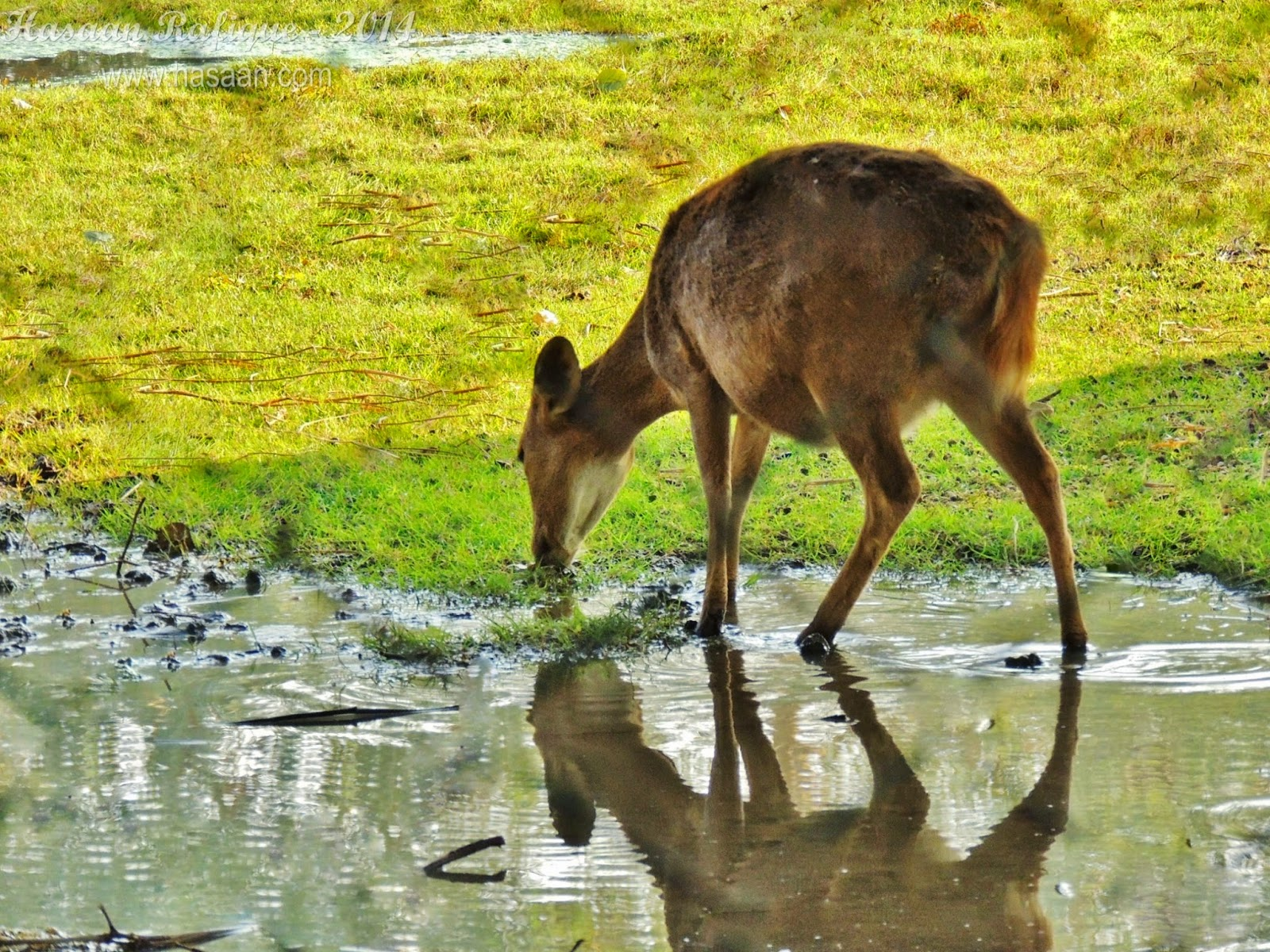 A deer drinking water.