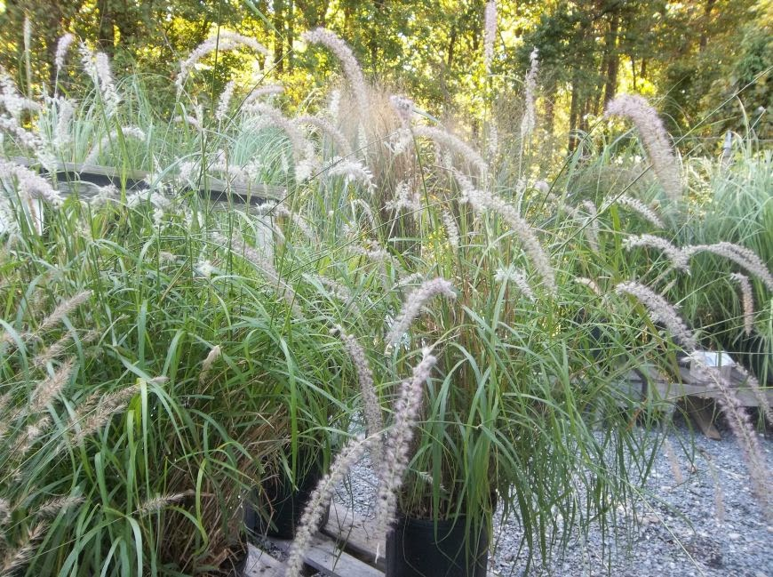 Future plants by randy stewart fountain grass for Fast growing ornamental grass