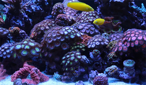 Zoanthid and palythoa coral care tips paly toxin and fragging zoas and palys are one of the most popular organisms to collect and many hobbyists take pride in how many different types and colors they have their tank publicscrutiny Gallery