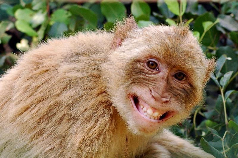Hasil gambar untuk monyet