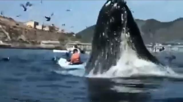 Baleia emerge repentinamente entre caiaques e surpreende mulher em praia da Califórnia, EUA.