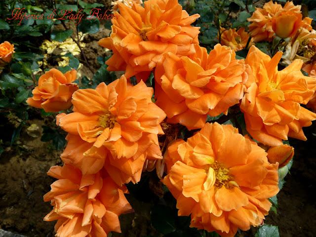 hiperica_lady_boheme_blog_di_cucina_ricette_gustose_facili_veloci_rose_arancioni