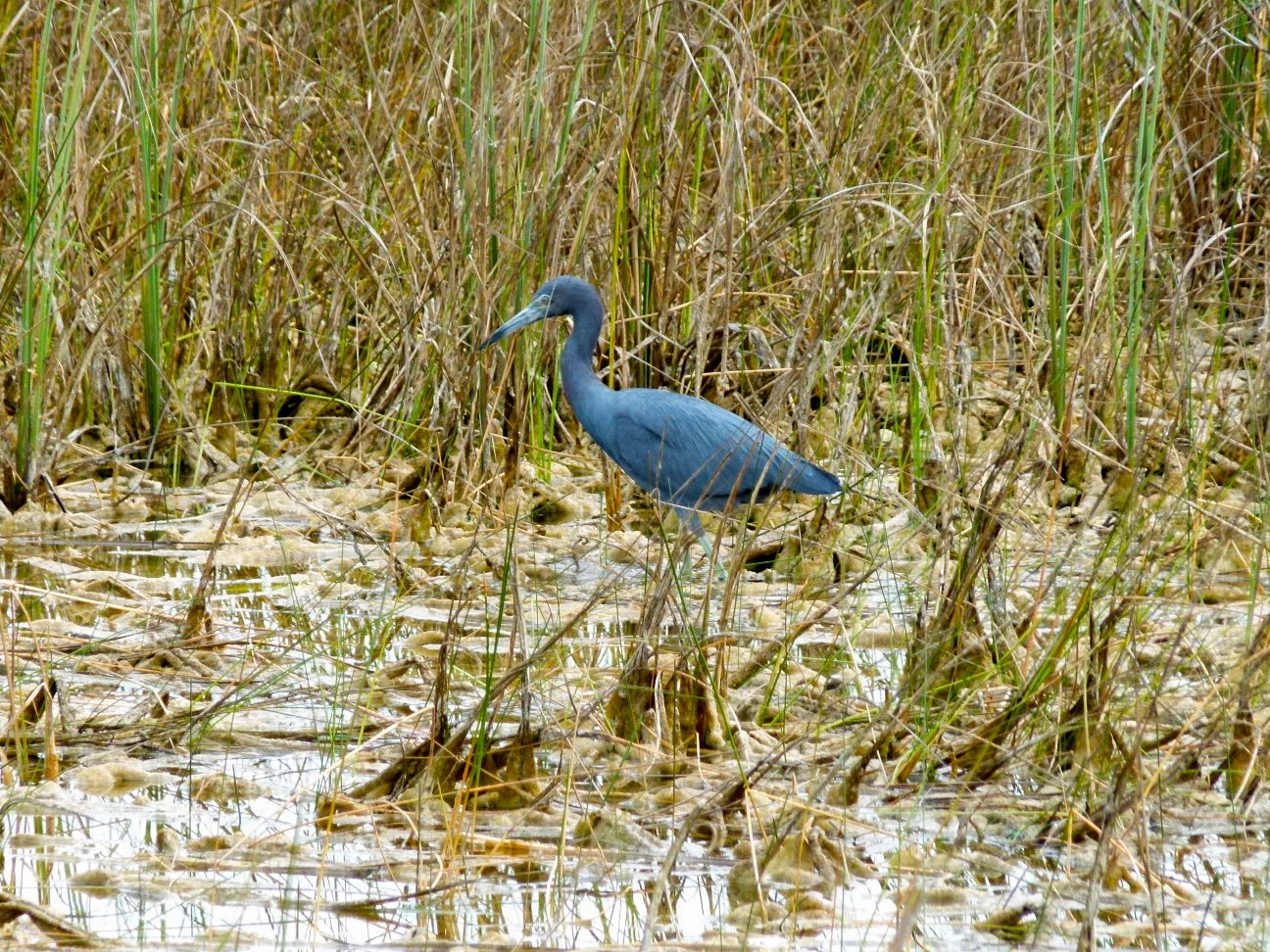Little Blue Heron looking for insects in Shark Valley